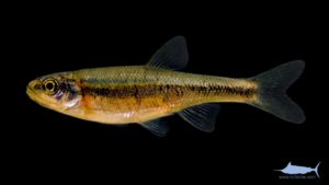 Rosyside Dace - Clinostomus funduloides