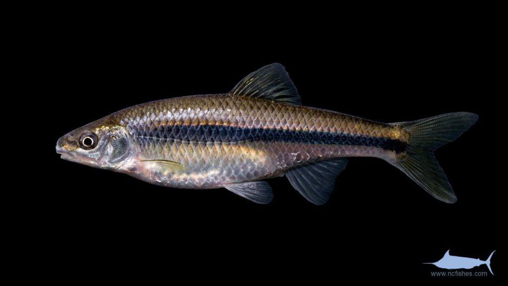 Whitefin Shiner - Cyprinella nivea