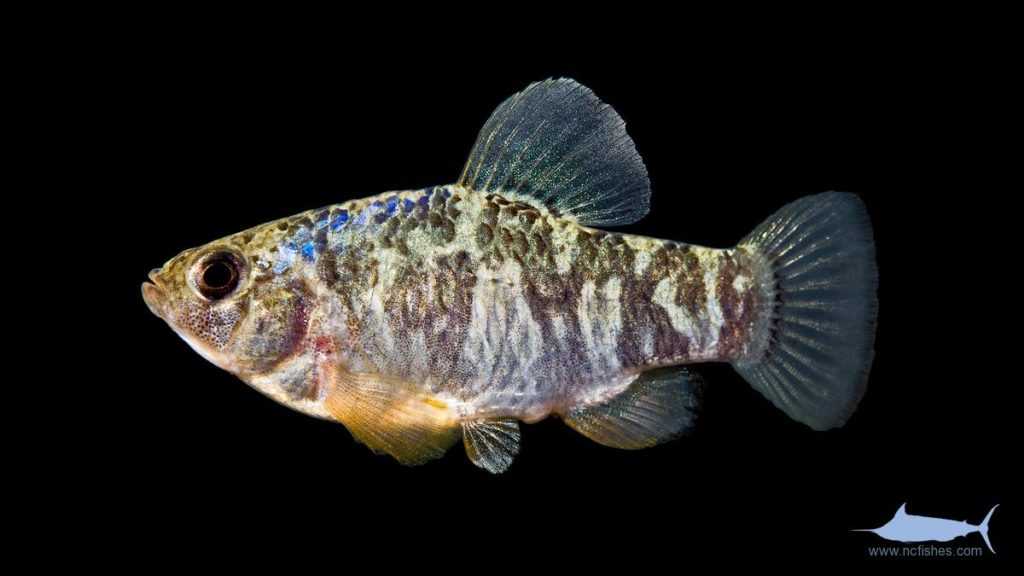 Sheepshead Minnow - Cyprinodon variegatus - Male
