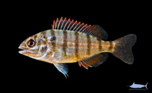 Pinfish – Lagodon rhomboides