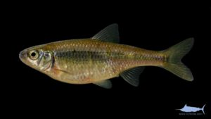 White Shiner – Luxilus albeolus – female