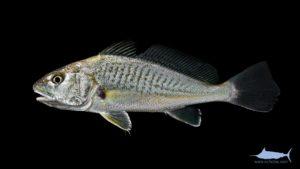 Atlantic Croaker - Micropogonias undulatus
