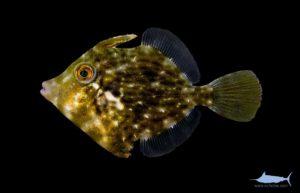 Planehead Filefish - Stephanolepis hispidus