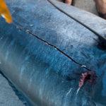 Blue Marlin Sampling