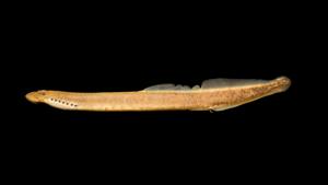 Ichthyomyzon greeleyi - Male