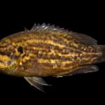 Acantharchus pomotis