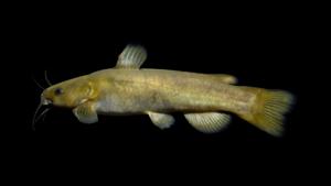 Ameiurus brunneus