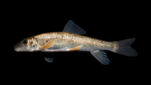 Catostomus commersonii