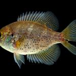 Centrarchus macropterus