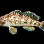 Centropristis philadelphica