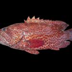 Cephalopholis cruentata