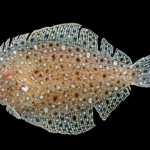 Citharichthys macrops