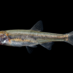 Clinostomus funduloides