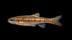 Clinostomus sp