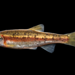 "Clinostomus sp. ""Smoky Dace"""