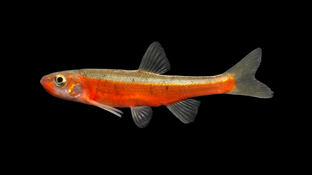 "Clinostomus sp. ""Hiwassee"" Dace"