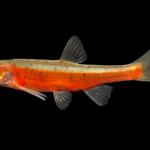 "Clinostomus sp. ""Hiawassee"""