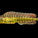 Coryphaena hippurus