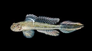 Ctenogobius boleosoma
