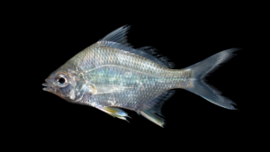Diapterus auratus