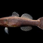 Eleotris amblyopsis