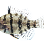 Enneacanthus chaetodon