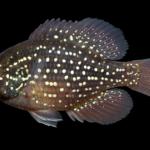 Enneacanthus gloriosus