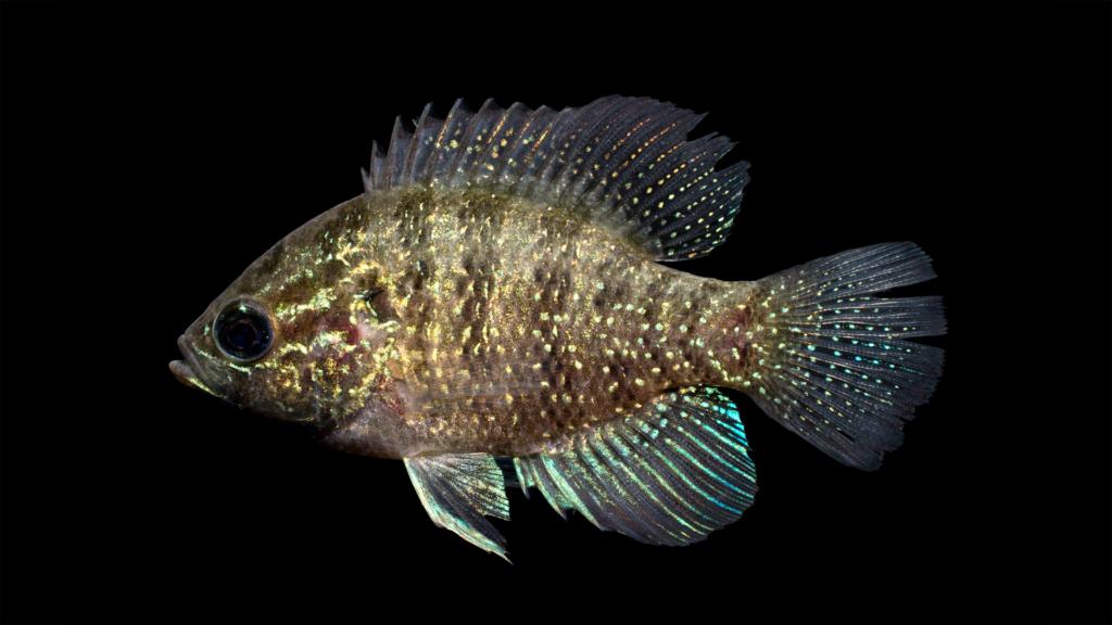 Enneacanthus obesus