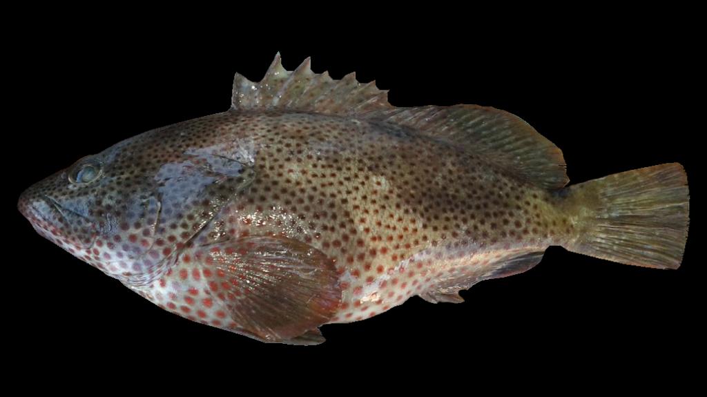 Epinephelus adscensionis