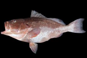 Epinephelus morio