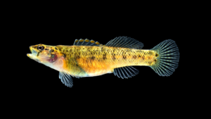 Etheostoma brevispinum