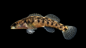 Etheostoma flabellare