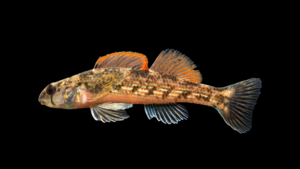 Etheostoma inscriptum