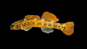 Etheostoma podostemone