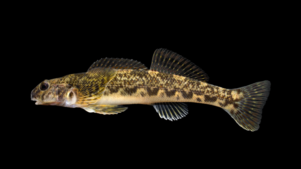 Etheostoma blennioides
