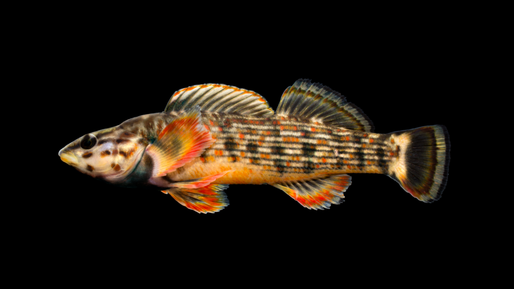 Etheostoma rufilineatum