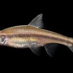 Hybopsis hypsinotus