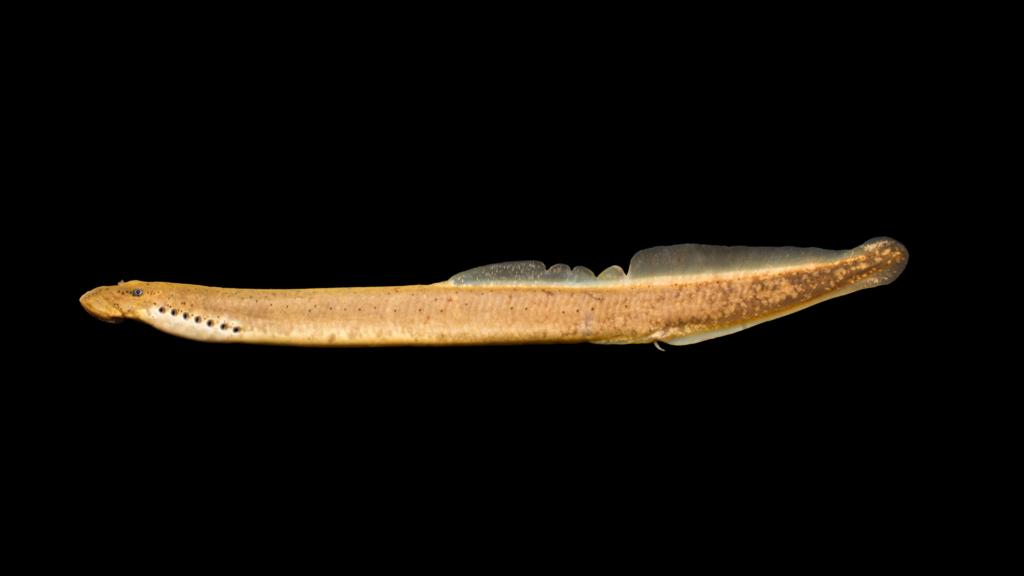 Ichthyomyzon greeleyi