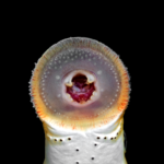 Lampetra aepyptera