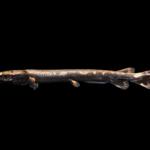Lepisosteus osseus
