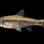 Luxilus albeolus