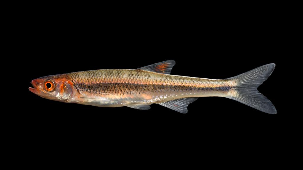 Lythrurus matutinus