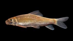 Moxostoma macrolepidotum