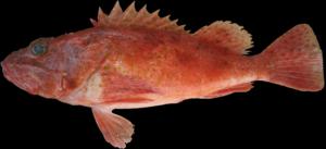 Neomerinthe hemingwayi