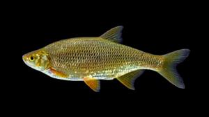 Notemigonus crysoleucas