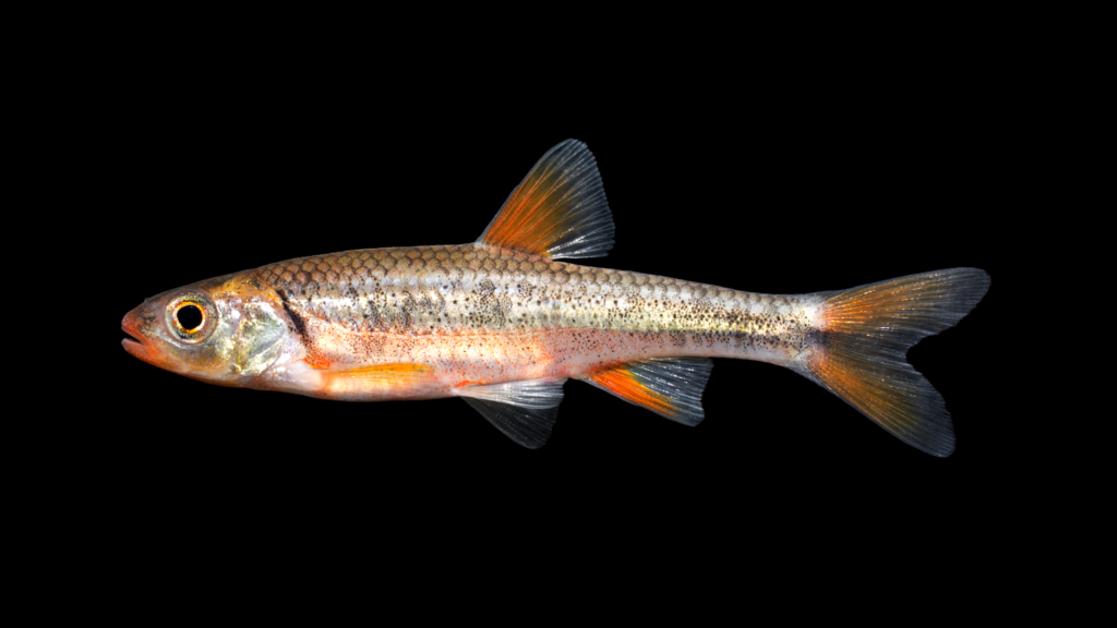 Notropis chiliticus