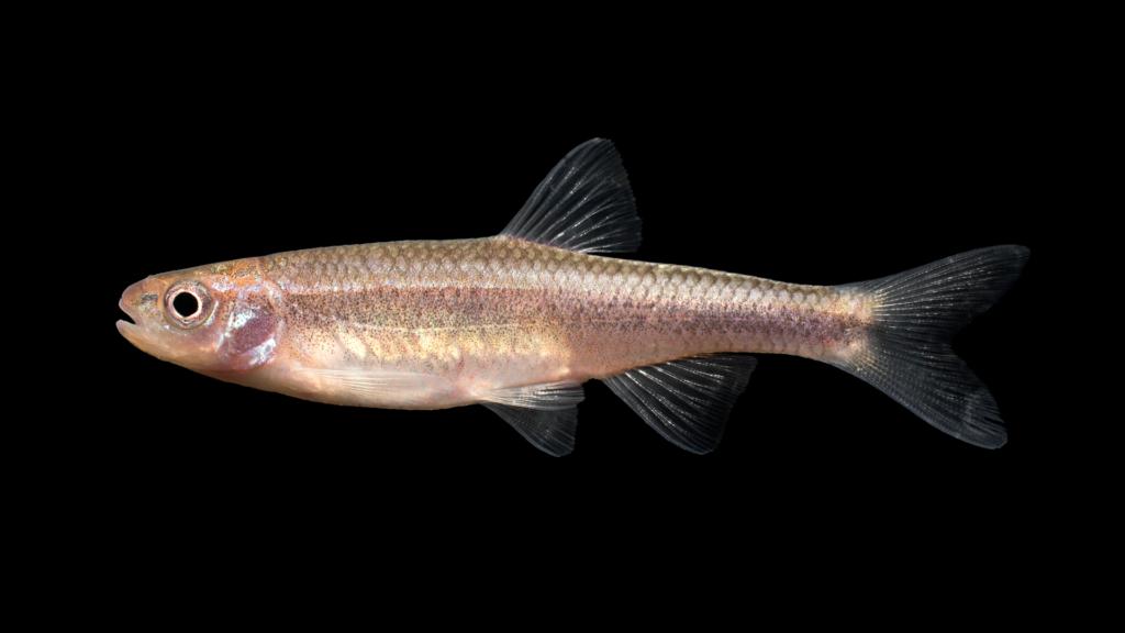 Notropis chlorocephalus