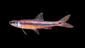 Notropis maculatus