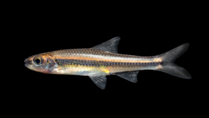 Notropis petersoni