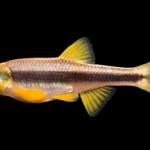 Notropis sp. cf. chlorocephalus